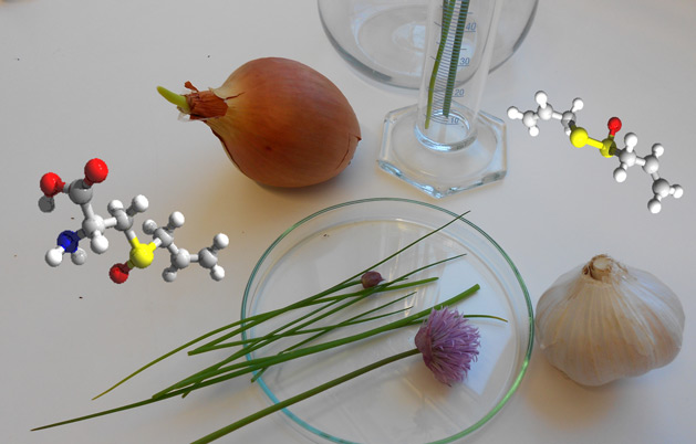 A gathering of the allium familiy, together with molecules of alliin (left) and one of its pungent decomposition products, allicin (right).