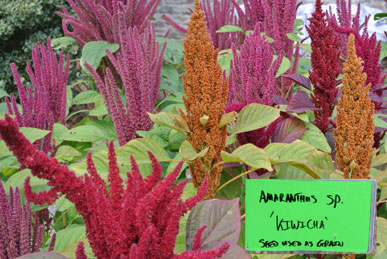 Amaranth, Native American Foods bed