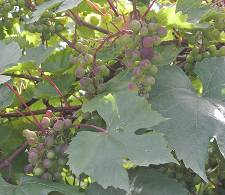 The common grape vine (Vitis vinifera) (found in the Mediterranean bed)