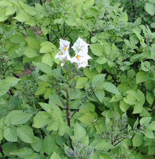 Flower of potato (Solanum tuberosum) in the Native American Foods bed