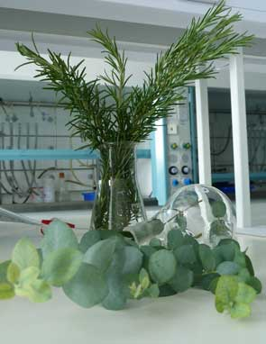 Eucalyptus and rosemary - both plants contain eucalyptol.