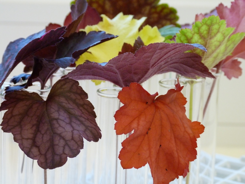 The colourful leaves of heuchera
