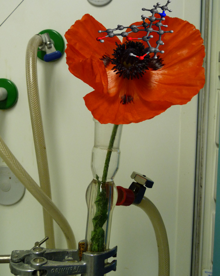Poppy flower (Papaver somniferum) in a glass condenser, together with the structure of morphine, one of its key ingredients.