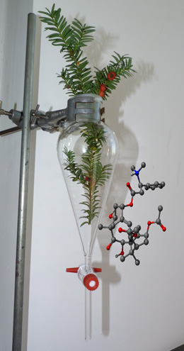 Fig. 1: Common yew (Taxus baccata) in a separating funnel together with the molecular structure of taxine A in ball-and-stick representation.