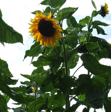 A sunflower (Helianthus annuus) photographed in the Bristol Botanic Garden last summer.