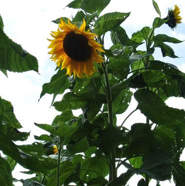 A sunflower (Helianthus annuus) photographed in the Bristol Botanic Garden last summer.