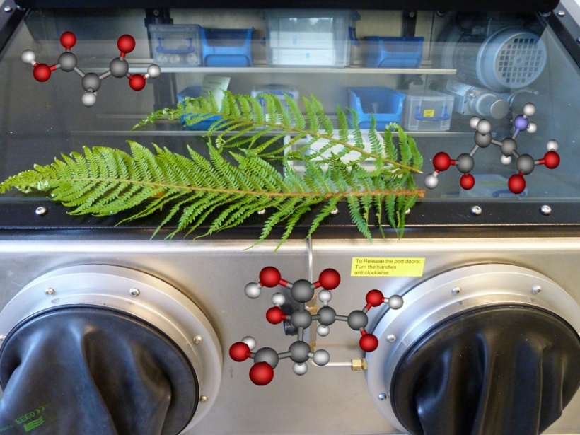 Fern fronds (likely Drypoteris filix-mas) on a glove box with molecular structures of malonic acid (left), citric acid (centre) and aspartic acid (right), all of which are known to bind nickel in hyperaccumulating plants.