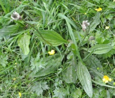 Narrowleaf plantain, also called ribwort (Plantago lanceaolate)