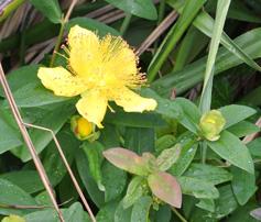 Hypericum cultivar, relative of Hypericum perforatum, St John's Wort.