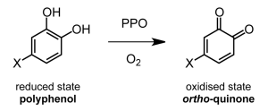 Oxidation of catechins to their corresponding quinones, catalysed by the enzyme polyphenol oxidase (PPO).