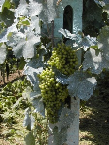 Grapes sprayed with Bordeaux mixture on white grapes in the Val Tiberina, Umbria, Italy (by la fattina, used under CC BY-NC-ND 2.0).
