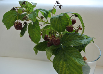 raspberry3