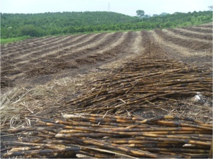 Cut sugar cane in Veracruz, Mexico