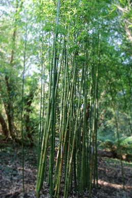 Bamboo at Trebah (yes, blurry as well*)