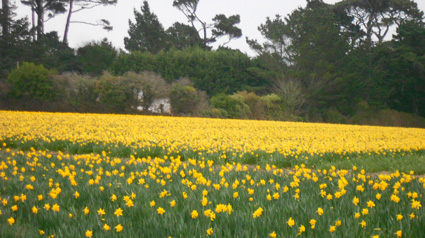 A field of daffodils, not far from Trebah Garden.