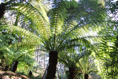 Tree fern at Trebah.